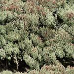 アカミゴケ類 Cladonia sp.