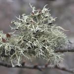 ヤマヒコノリ Evernia esorediosa (Müll.Arg.) Du Rietz