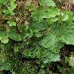 ウスバカブトゴケ Lobaria linita (Ach.) Rabenh.