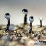 シロフチピンゴケ Calicium glaucellum Ach.