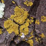 ロウソクゴケ Candelaria concolor (Dicks.) Stein