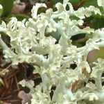 ウスキエイランタイFlavocetraria cucullata (Bellardi) Kärnefelt & A.Thell