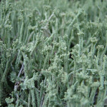 ヒメレンゲゴケ?