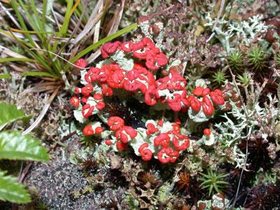 アカミゴケの仲間1 Cladonia sp.
