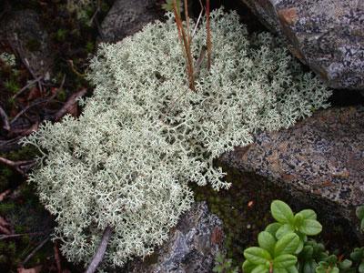 ハナゴケの仲間1 Cladonia sp.