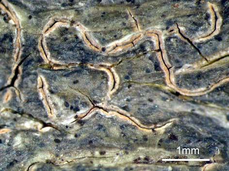 スジモジゴケ (シロモジゴケ) Fissurina inabensis (Vain.) M.Nakan. & Kashiw.
