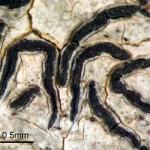 エダマタモジゴケ  Graphis desquamescens (Fée) Hale & Wirth