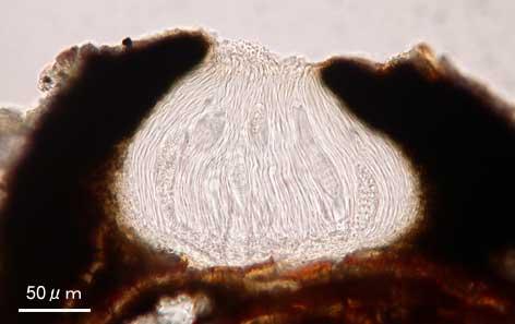 ヤマトシロミモジゴケ Graphis fissofurcata Leight.