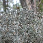 ハナゴケ Cladonia rangiferina (L.) F.H.Wigg. subsp. grisea Ahti