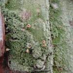 ヘラゴケ Glossodium japonicum Zahlbr.