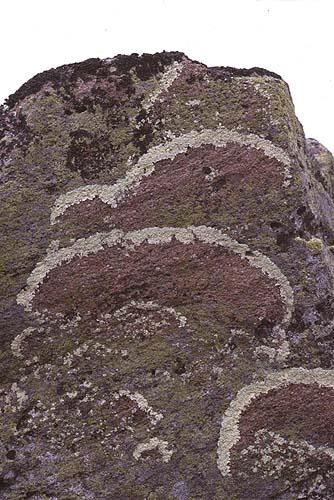 高山の岩上に生育する地衣類