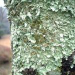 ニセウチキウメノキゴケ Myelochroa irrugans (Nyl.) Elix & Hale