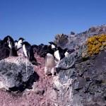 ペンギンルッカリーと地衣類群落