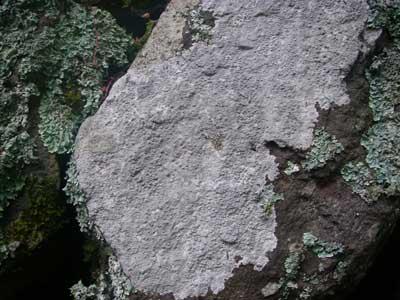 イワニクイボゴケ Ochrolechia parellula (Müll.Arg.) Zahlbr.