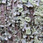 ムカデゴケ科 Physciella melanchra (Hue) Essl.