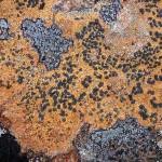 タカネヘリトリゴケ(新称)  Porpidia flavicunda (Ach.) Gowan