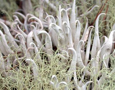 ムシゴケ Thamnolia vermicularis Ach.
