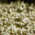 ウメノキゴケ Parmotrema tinctorum (Nyl.) Hale