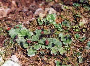 ヒメツメゴケ Peltigera venosa (L.) Hoffm.