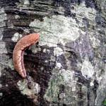 トリハダゴケを食べるヤマナメクジ